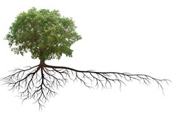 The Harmful Effects of Tree Root Infiltration on Potable Water Piping